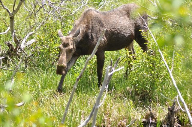 雌性駝鹿 (Female Moose)