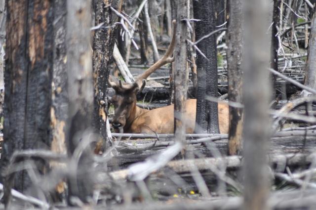 林中若隱若現的麋鹿 (Elk)