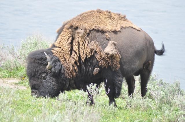 近距離看見野牛 (Bison)